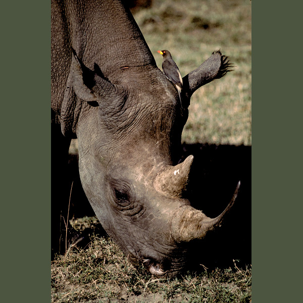 This black rhinoceros is having ticks and other parasites removed by a yellow-billed oxpecker, which does the same symbiotic favor for Cape buffalo, zebras, giraffes, wildebeest, warthogs, and a variety of other grazers plagued by these pests.