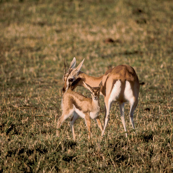 Thomson's are East Africa's commonest gazelle, major prey species for cheetahs, lions, leopards, hunting dogs, and hyenas. Young ones are vulnerable as well to jackals, baboons, eagles, pythons, and smaller cats. Main defenses are keen senses and speed—they can run 40 miles an hour (67 kph), often for longer than a sprinting cheetah can pursue them.