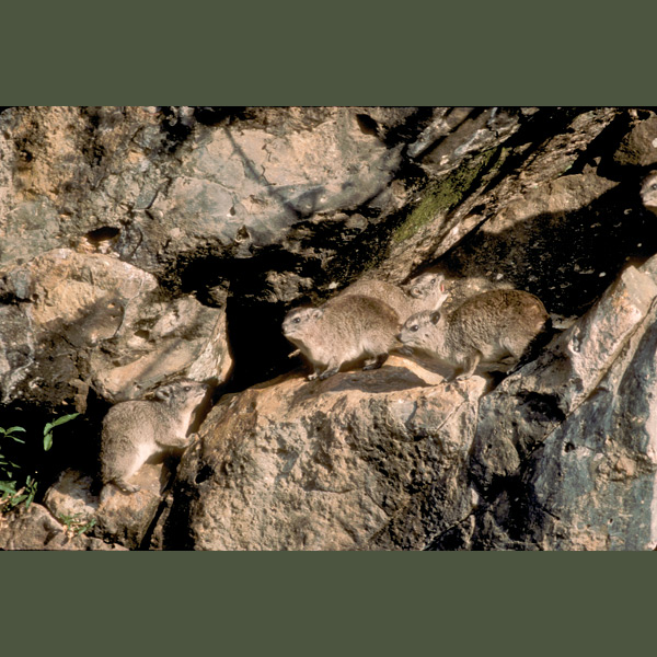 Rabbit-sized rock hyraxes have thickly padded feet with rubbery flaps kept moist by glandular secretions, forming a useful gripping surface for rapid mobility over rocky outcrops where they make homes. Fossil remains show hyraxes once were the size of oxen. Their closest relatives today are elephants.