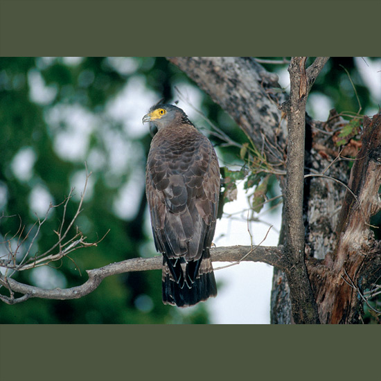 Crested serpent eagles' crests rise and fall with their feelings of excitement, over danger, mating, prey possibilities. Otherwise they are almost invisible except for bright yellow eyes, legs and feet, as they perch quietly in the forest, waiting for a snake or lizard to slither along. It's a taste they acquire when young. One nestling only eight inches (20 cm) long was known to swallow a snake three times its length, taking an hour and a half in the process. When not foraging, they can soar for hours over home territories in India, Bangladesh, Pakistan, Sri Lanka, and Myanmar, giving a variety of clear, ringing whistles and screams.