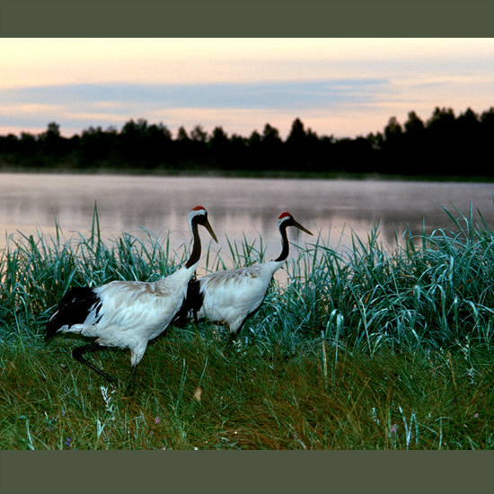 Red-crowned cranes, one of the rarest of a rare family, depend on breeding and wintering grounds that are themselves precarious—Korea's demilitarized zone and coastal, riverine and freshwater marshes in Russia and northeast China, threatened by dam construction, deforestation, and agricultural expansion. They prefer relatively deep water with standing dead vegetation, signaling location of the right spot with breathtaking courtship dances and unison calls audible for miles.
