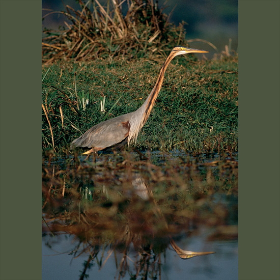 Purple herons' extra-long toes let them get a good grip on reed stalks where they stand like statues, with long necks retracted in a tight S-curve until prey comes in range. Then cervical vertebrae, constructed so their necks can hardly move laterally, let go and straighten in a flash, thrusting heads forward like a released spring to stab prey or seize it in the beak. Purple herons range through freshwater and tidal mangrove estuaries in Africa and Europe, through temperate Asia as far as eastern Russia and China and in Southeast Asia to Sulawesi and the Philippines.