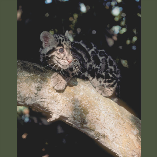 Clouded leopards, named for cloud-like spots that provide camouflage in their forest habitat, are (even this young one) arboreal specialists of the cat family. With short, stout legs and low centers of gravity, thick, furry tails the length of their bodies for balance, and flexible back ankle joints that allow hind feet to rotate so they can descend head-first, like squirrels, they can crawl along horizontal branches with backs to the ground, like sloths, or dangle from hind legs only. They often drop on victims from overhead, preying on smaller mammals—deer and wild pigs—as well as birds.