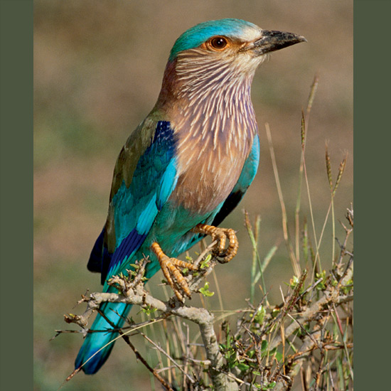 Indian rollers are often unnoticed perching motionless in open country until a frog, butterfly or large insect is spotted. Then with an explosion of flashing blue wings, purple breast and throat and turquoise crown, lower wings and tail the roller takes out in pursuit. Females get a similar show with different purpose when males perform rolling courtship flights for which they are named, flying steeply upward, then banking and spiraling downward. Pure white eggs are laid in a tree-hole to which the pair may return yearly, anywhere from Iraq and Iran through Pakistan, India, Myanmar, Southeast Asia, Tibet, and parts of China.