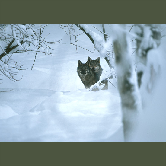 """Gray wolves have the greatest natural range of any land mammals except humans—over northern U.S., Canada, Europe, and temperate-to-polar Russia. Highly social, they form family and hunting packs of two to 12 or more—but only the dominant or """"alpha"""" pair breed, ensuring best survival chance to their pups. They hunt in single file—in snow, stepping in pawprints up to six inches (15 cm) long of preceding animal—and are able to bring down much larger prey, outrunning them in bounds up 16 feet (5 m), crushing their bones with jaws that exert pressures up to 1,500 pounds per square inch (100 kg/cm2)."""