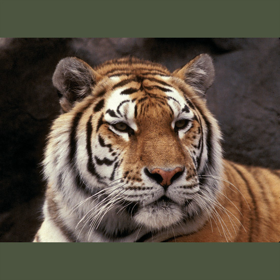 Siberian or Amur tigers up to 10 feet (3 m) long, with massive, heavily muscled limbs and shoulders, can leap 10 feet at a single bound. Long, dense, paler coats and furry neck ruffs make them look even bigger than they are. They can consume 75 pounds (95 kg) at a meal. Prey is usually killed by crashing down on the quarry's back and biting the neck, either severing the jugular or crushing the spine—but they've been known to track bears to winter dens to dig out and dispatch a still-sleepy victim. Less than 500 remain in the wild, most in the Siberian Far East.