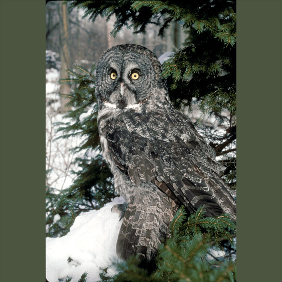 The great gray owl's feathery facial discs detect faint sounds which they direct to bony cups surrounding asymmetrical ear openings to triangulate and precisely locate prey, plunging through two feet (60 cm) of snow to grasp in their talons an unsuspecting rodent. Tall, silent, golden-eyed, they range through boreal forests across Russia, Norway, Canada, and Alaska.