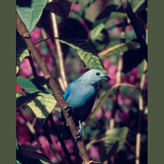Resourceful foragers, blue-gray tanagers seem happy flying out to capture insect prey in midair, equally so dining on fruiting and flowering trees or meticulously searching for hidden grubs in branches and leaves. Azulegas, as they're known in Colombia and Panama, build sturdy plant fiber nests that can be found from just above ground to 100 feet (30 m) up in trees through the Caribbean and northern South America.