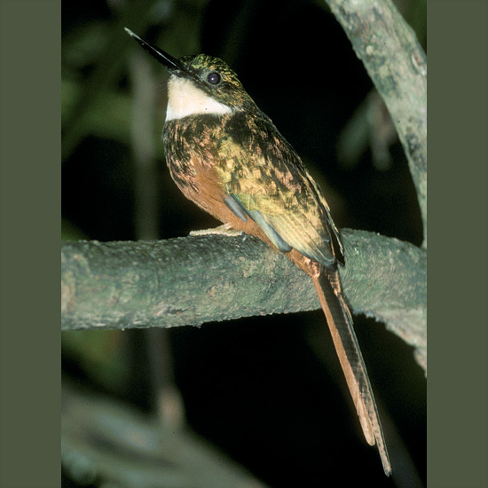 Jacamars, such as this rufous-tailed, resemble overgrown hummingbirds with their glittering metallic gold, green, and coppery plumage—an eye-catching display when they zoom after favorite insect prey, often an equally vivid butterfly. After a successful sally they beat their hapless victim against a branch until wings flutter to the ground, and only then consume the body. Jacamars' sharp calls suggest lives of high excitement, and indeed, high-pitched notes of their vocal courtship climaxes ending in long-drawn, clear, soft trills are one of the loveliest sounds of tropical woodlands and streamsides from Mexico to northern Argentina.