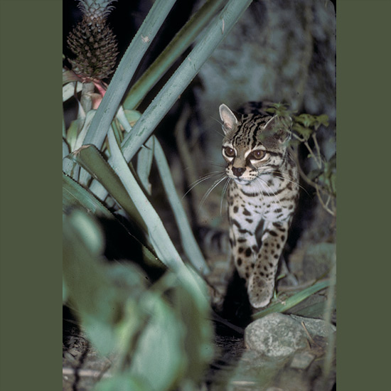 Margays are known for exceptional climbing abilities. Aided by flexible rotating hind feet and, for balance, furry tails up to two-thirds their up-to-31-inch (79-cm) length, they can run straight down trees head-first or somersault to hang from branches or lianas by hind feet alone or, if advantageous, just one hind foot. They're threatened by destruction of forest habitat in central South America.