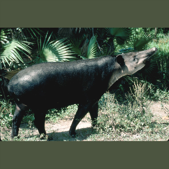 Living fossils unchanged on earth for some 35 million years, tapirs look like cousins of elephants but are more closely related to rhinoceros and horses. Prehensile-looking upper lips are useful for shoveling food in the mouth and gathering leaves from places their tongues and teeth can't reach. Tapirs are good swimmers and seek out watery, forested swamps in Central and northern South America.