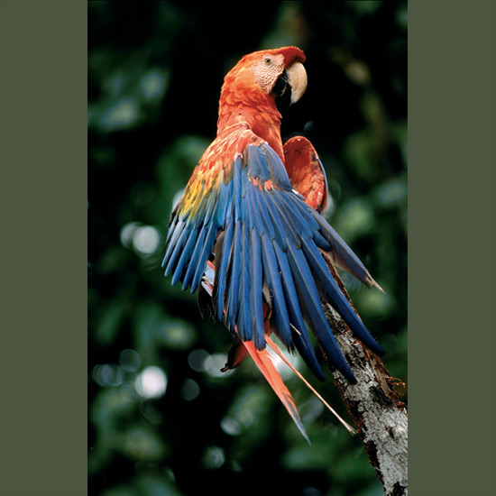 Scarlet macaws are one of the most stunning of the beautiful parrot family, and one of the most dexterous, with zygodactyl feet—two toes in front and two behind—that they use like hands in holding and manipulating objects. Bills are attached to their skulls with special hinges that give them powerful leverage and mobility in performing delicate tasks like preening feathers but also crushing the hardest nuts, and act as third feet in grasping perches so they are excellent climbers as well. These dazzling birds are increasingly endangered by demand for the pet trade through Central and northern South America.