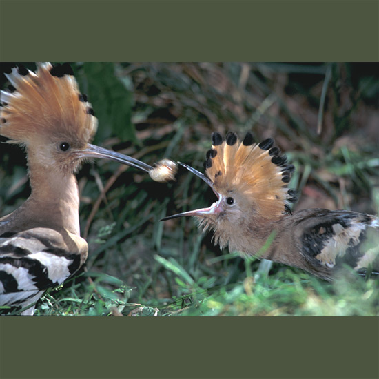 Nothing else looks like a hoopoe with its spectacular pink-cinnamon Indian-chief crest, spread like a fan or laid like a striped spike along its forehead, and butterfly-like flight, dramatically opening and closing boldly-barred black and white wings and tail. Nothing, they say, smells like one, either, when nesting, since they don't remove nestlings' droppings. Hoopoes range over open woodlands, nesting in old tree holes or rocky niches in Eurasia, wintering in Africa and southern Asia.