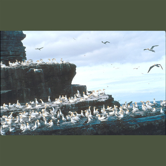 Gannets, large, brilliantly white cigar-shaped seabirds with buff-cream heads nest in great crowded colonies on high cliffs on both sides of the North Atlantic, supplying fuzzy white nestlings with fish gathered in prodigious dives. Flying up to 130 feet (40 m) high, they soar, circle, then plunge headlong in steep diagonals, retracting pointed six-foot (1.8-m) wings just before striking the water's surface, protected from impact by hard skull structure and cellular tissue cushions just under neck and breast skin which automatically fill with air in descent.