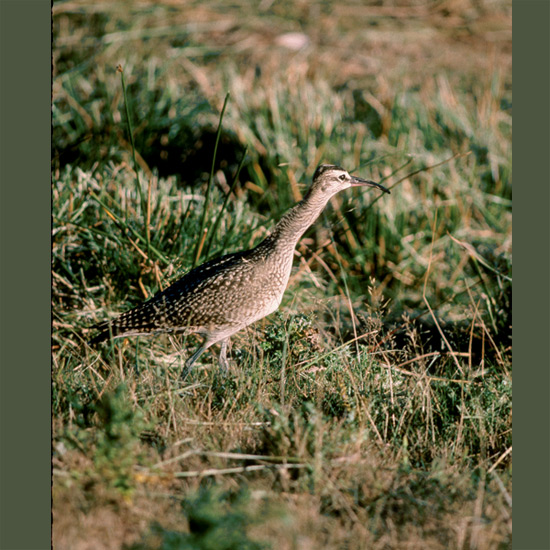"Whimbrels' long down-curved bills enable them to make use of a comprehensive diet including worms and mollusks they can find only by probing deep into mudflats, leading to their nickname ""elephant bird"" in Southeast Asia. Circumpolar, their far-carrying ""pe-pe-pe-pe-pe"" whistle is heard over breeding grounds in subarctic and Arctic from Iceland across Eurasia, Alaska, and Canada."