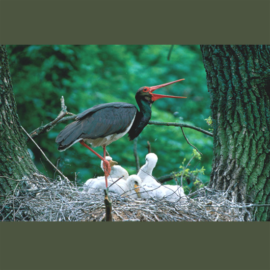Black storks—more than three feet tall (100cm) with red beaks, legs and feet and wingspans up to 81 inches (205cm)—nest deep in old forests, so silent and retiring they are seldom seen, despite enormous nests. Built by both pair members, often near a marshy forest clearing, nests can measure five feet (1.5 m) across and a yard (1 m) deep. Spain's population has been resident and stable, isolated while elsewhere in Europe, the largely migratory species was driven near extinction by habitat destruction and pollution. Its comeback through protection recently has been an encouraging success story.