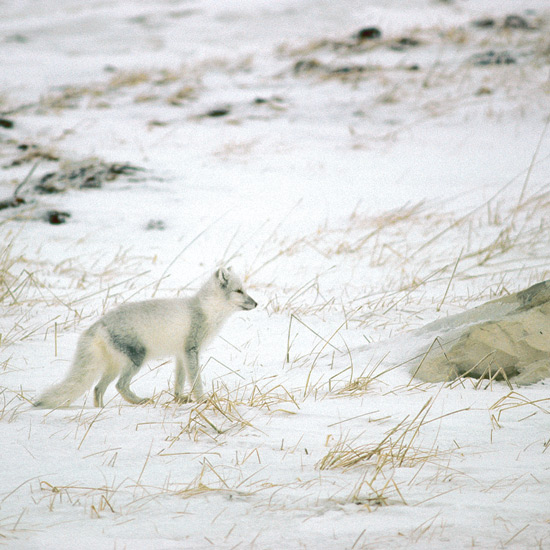 """Arctic fox fur has the highest insulation value of any mammal, useful in treeless arctic tundras where they live in Eurasia, North America, Iceland, and Greenland. Soles of their feet are covered entirely with fur—hence their scientific name, LAGOPUS or """"rabbit foot."""" Small, rounded ears restrict heat loss. Long, thick, bushy tails reach around them like fur stoles when they curl up to sleep, able to endure temperatures of –70oF (–60oC). No other canid species lives so far north."""