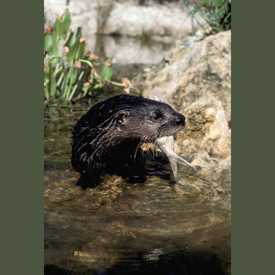 Graceful, frolicsome river otters spend a third of their time in water, muscular, torpedo-shaped bodies protected by coarse guard hairs over dense undercoats that keep them snug and waterproof in all seasons. Small ears and nostrils automatically close and pulse slows to a tenth of normal 170 beats a minute to conserve oxygen so they can stay under more than four minutes at depths of 60 feet (18 m) or more. Britain's King James I kept a pack of tame otters to catch fish for his table. However, studies show they catch mainly non-game fish, thereby strengthening game fish stocks. Found in well-watered habitat north of Mexico.