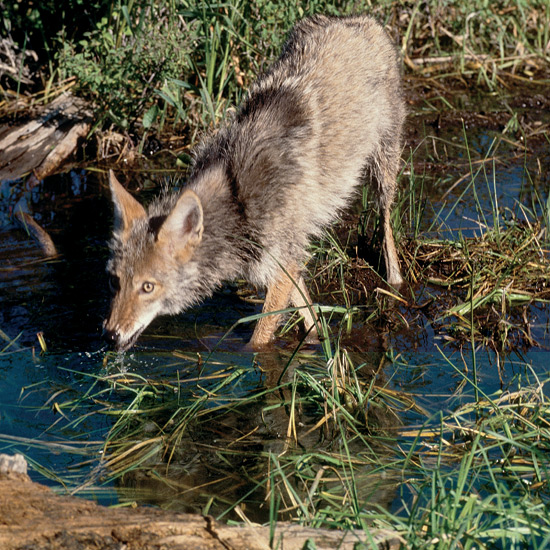 "Few animals have survived more human persecution than coyotes—everything from flamethrowers to strychnine—because of real or imagined encroachment on human activities. Such is the adaptability and resourcefulness of these keen-sensed ""little wolves,"" that they can run almost 40 miles an hour (64 kph), eat anything from small mammals, insects, reptiles, to fruits, berries and carrion, and breed with both domestic dogs and wolves. They not only have survived persecution, but extended their range over much of North America from eastern Alaska and New England, south through Mexico and Panama."