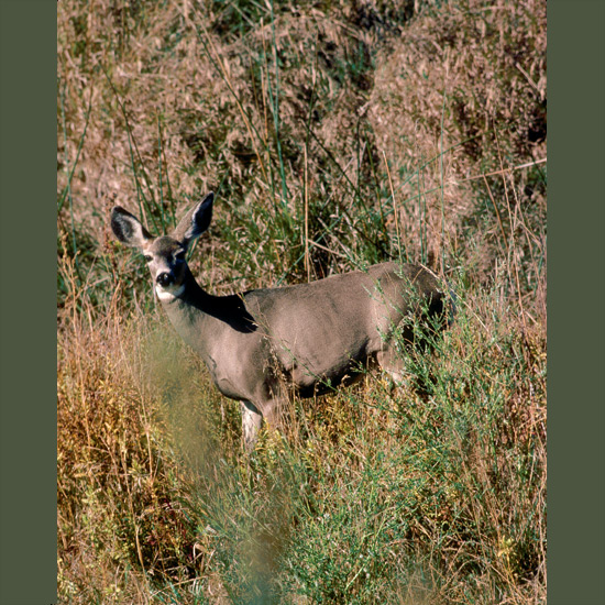 """Mule deer are named for their remarkable ears, nearly a foot long and half-foot wide (30 × 15 cm) which move constantly and independently, working like dish antennae, gathering even faint sounds, helping them detect predators at great distances. They may then perform a stiff-legged bound called """"stotting,"""" bringing all four feet off the air simultaneously in a pogo stick-like leap up to eight feet (2.4m) high for an elevated view of terrain. They can turn bodies completely around in mid-air and start off """"stotting"""" in the opposite direction in great bounds up to 28 feet (9 m) long reaching speeds of 45 miles an hour (72 kph). Mule deer are found throughout the western United States."""