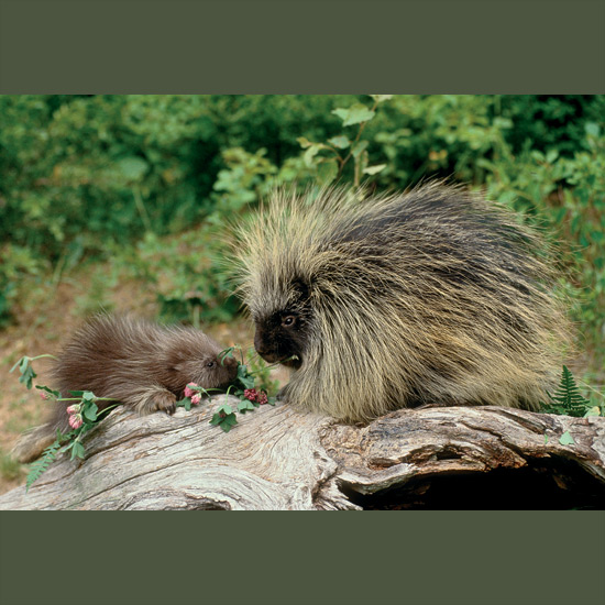Porcupines cannot throw their 30,000 quills, as sometimes said, but it can seem they do, so easily do these needle-sharp modified hairs detach at a predator's touch. Loosely attached to a layer of voluntary muscles, they drive forcefully into an adversary's skin, where body heat causes microscopic barbs to expand and become embedded. Wounds may fester and cause death or blindness in a vital place or starvation if driven into the mouth. But their fatty flesh makes them a tempting quarry, and some, especially fishers, have learned to flip them over to get at unprotected undersides. But even fishers can suffer fatal injury. Found in wooded or scrubby areas through Canada and northern U.S., south in the west to Mexico.