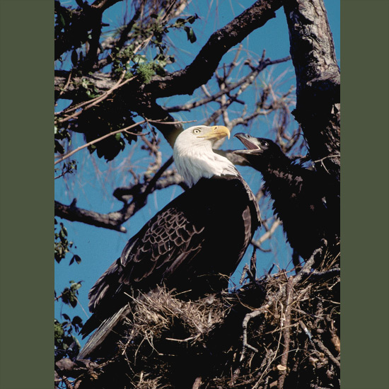 """Bald eagles can see fish swimming in water from several hundred feet up (100+ m) and dive on them at speeds over 100 miles an hour (160 kph). If necessary they can swim a butterfly-stroke until they get enough lift to take off again. They return to the same nest yearly, adding to it until it becomes huge— one on record was nine feet (3 m) across and weighed two tons. """"Bald"""" comes not from lack of feathers but an Old English word, balde, meaning white. Once endangered from pesticide use and habitat loss, their status with improved conditions has been raised to threatened over much of their North American range."""