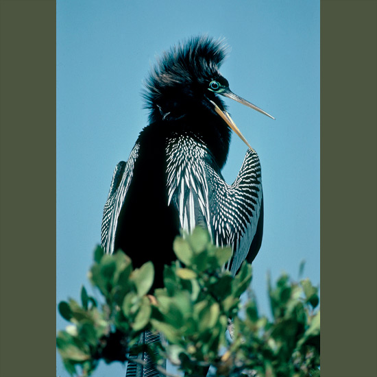 """Anhingas control air bladders in their bodies so they can ride high in water or low with only waving heads and necks showing, looking like """"snakebirds"""", which is what they are often called. Hinge-like neck vertebrae help them strike instantly to spear watery prey, which they toss up to swallow head-first. In courtship, feathers flare so their small heads seem to double in size around electric blue-turquoise eye rings as they croak, rattle and sometimes entwine necks with mates in wetlands from Everglades National Park south, occasionally as far as Argentina."""