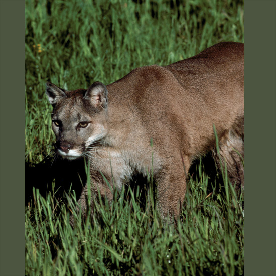 Mountain lions, known also as Florida panthers, cougars, pumas—same species—have the largest range of any New World cat, from southern Argentina to southeastern Alaska. Powerful rear leg muscles with proportionately the longest legs of any cat give them extraordinary jumping abilities. Running broad jumps can be over 45 feet (14 m) and vertical leaps up to 15 feet (5 m). This makes them efficient predators on animals as large as moose, exploding from a hidden crouch to seize prey in two or three bounds, usually breaking a victim's neck with a single powerful bite at the base of the skull.