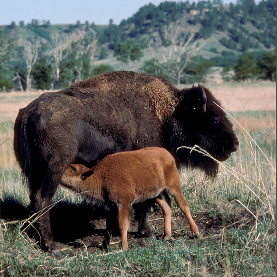 """Massive American bison or buffalo once formed the largest mass of animals ever to roam the earth—an estimated 60 million of them, bearded bulls with high humped shoulders and short, sharp upcurved horns standing six feet (2 m) at the shoulder, weighing more than a ton, running 30 miles an hour (48 kph). Within a few decades wild populations were almost gone, many lost to drive-by """"sport"""" shooting by railroad car passengers, their bodies left to rot on the prairie. Luckily a remnant herd was saved and a reserve set aside for them, and they thrive now in Prince Albert National Park and elsewhere."""