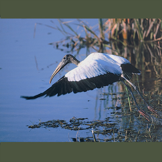 Wood storks may forage up to 25 miles (40 km) from their nests, spreading broad wings and gliding on thermals with little energy expenditure. They walk up to bellydeep in freshwater ponds, marshes and sloughs groping with downcurved opened bills which snap shut on frogs, tadpoles, snakes, young alligators, even large insects. These they carry back and regurgitate, partly digested, to nestlings which can consume some 50 pounds (23 kg) of food each before fledging from dense tree colonies from the southern U.S. south to Buenos Aires.