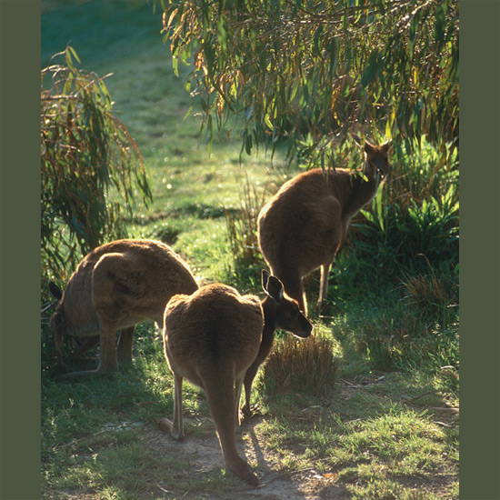 Red Kangaroos are the largest living marsupials, six feet tall (1.8 m) with heavy four-foot-long (1.2 m) tails on which they rely for balance and self-defense, stabilizing them while they kick out with formidable hind legs. With these legs they jump up to six feet (1.8 m), covering up to 29 feet in a bound, and run up to 35 miles per hour in short bursts. Their few enemies include introduced dingo dogs and sheep farmers who shoot them on sight to keep off grazing land (they won't jump over tall fencing but this is regarded a prohibitively costly). Red kangaroos range over scrublands in Australia's central areas, where their coloring camouflages them against red outback soil, but they can vary from red to gray.