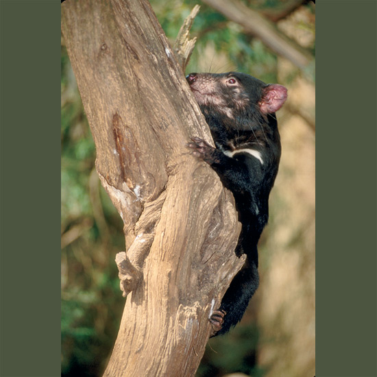 Tasmanian devils' reputation for ferocity comes from formidable jaws, able to crush all but largest bones so they completely consume carcasses, plus their habit of gaping with every tooth bared, often with growls and high-pitched spine-chilling screams. Usually this reflects fear and uncertainty more than aggression. They are shy, mild-mannered, even affectionate, better at consuming carrion than killing prey. Early stories of savage dispositions resulted, it's now felt, from cruel mistreatment. Small bear-like marsupials, they nurture young in backward-facing pouches. Driven to extinction in Australia, they've been protected in Tasmania since 1941 and are fairly common, especially in Cradle Mountain National Park.