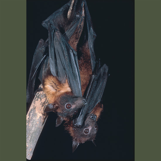 Nocturnal flying fox bats may fly 20 miles (32 km) in search of food—fruits of almost any kind,
