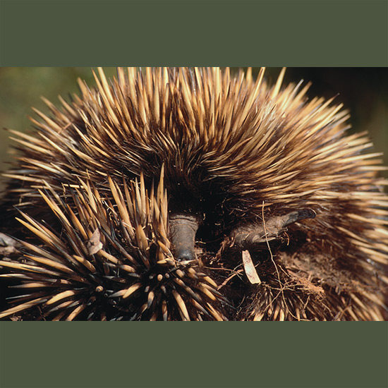 Echidnas pull off one of nature's most impressive disappearing acts when, as a small spiny mound, they begin to vibrate, gradually subsiding into soft ground until in moments they're gone completely, much as a submarine sinks into water. The vibrating is front and back claws digging furiously while side spines do their part, a move to ward off predators. Echidnas are, with platypi, world's only monotremes or egglaying mammals. They carry their single rubbery egg and young in a pouch, lactating and feeding the puggle or young echidna until it's ejected at two months when its spines, actually modified hairs, become too prickly to tote that way. Echidnas live in New Guinea, Australia, and Tasmania.
