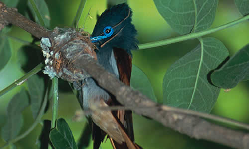 Paradise Fly-catcher