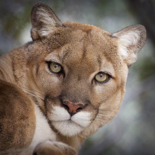 Copy of Mountain Lion