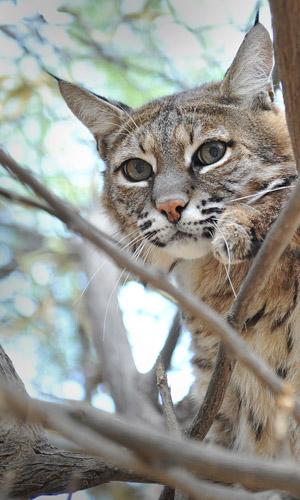 Copy of Bobcat