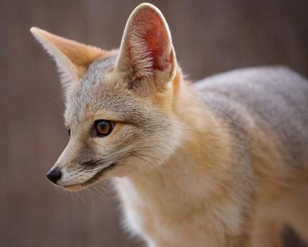 Copy of Kit Fox