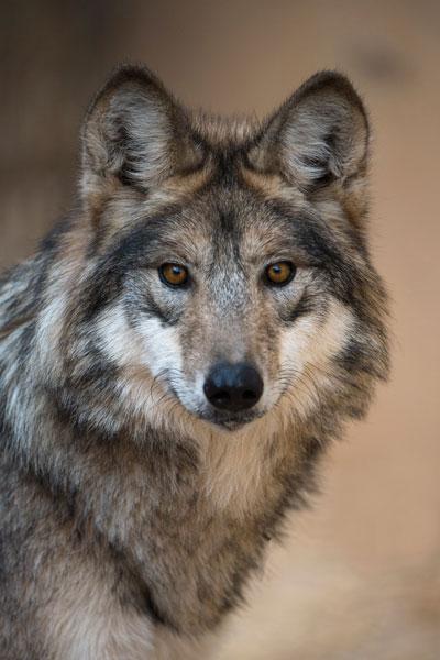 Gray-Wolf (2).jpg