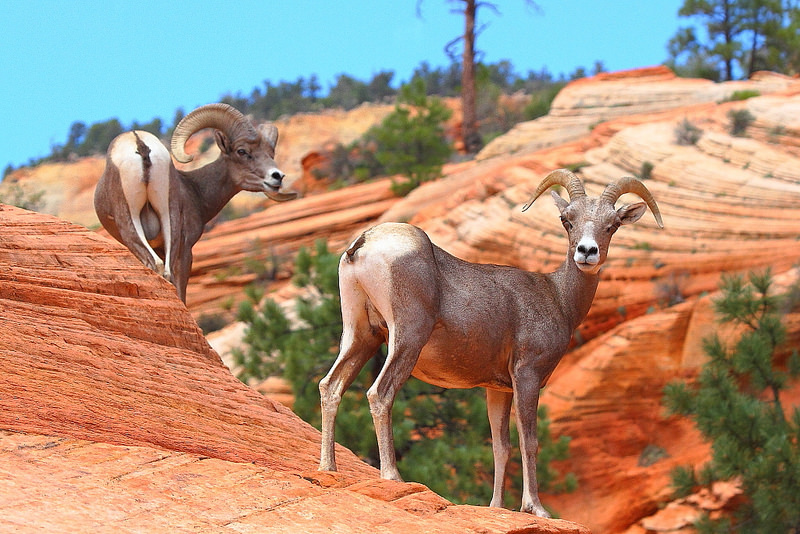 Copy of Bighorn Sheep