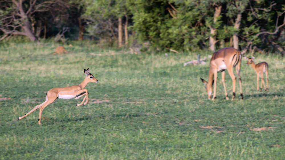 Impala lamb running for dear life