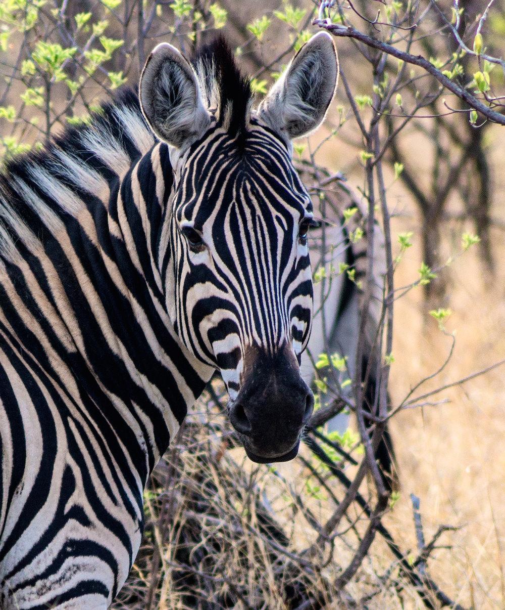 Mabalingwe Zebra |  © Photography by Marthinus Duckitt