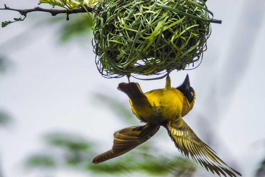 Male Weaver building a nest    © Photography Marthinus Duckitt