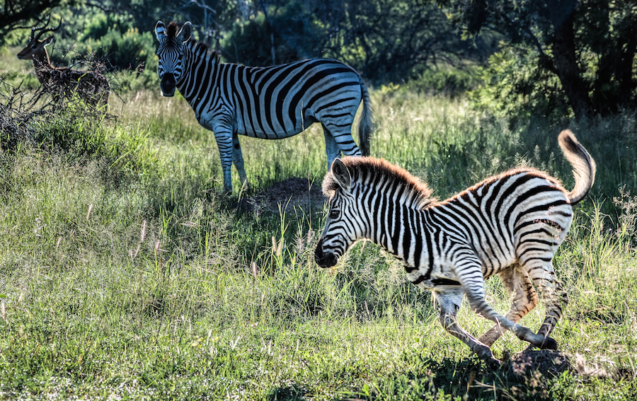 Zebra at Mabalingwe  |     ©   Photography by Marthinus Duckitt