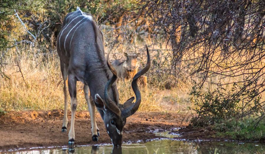 Mabalingwe Kudu bull |   ©  Photography by Marthinus Duckitt