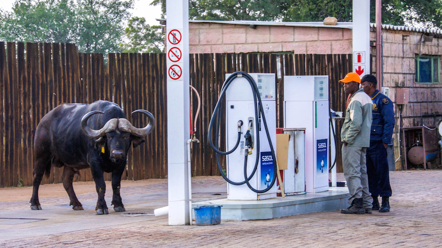 Mabalingwe Buffalo pays visit to filling station  |     ©   Photography by Marthinus Duckitt