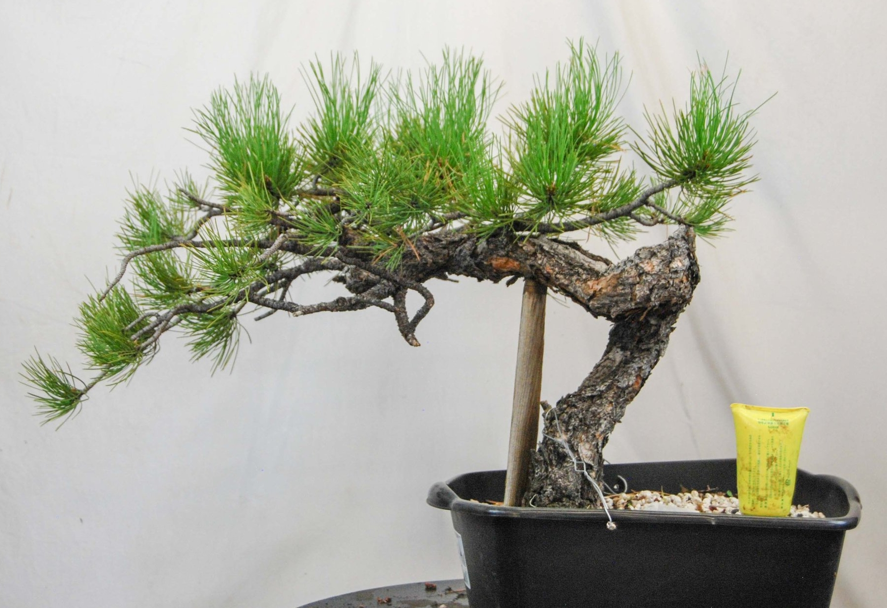 Pp3 Sold First Branch Bonsai