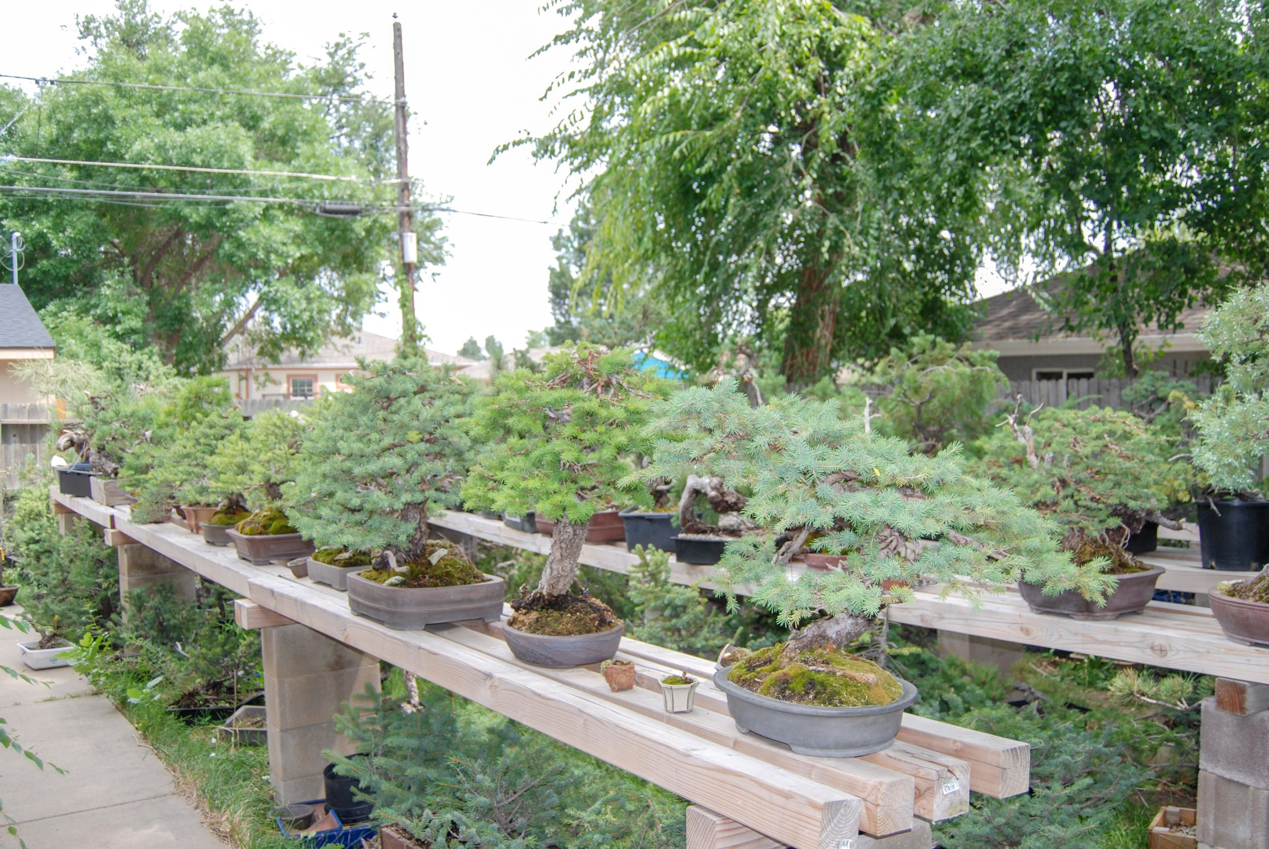 All of these trees have been Collected. The Spruces featured here are very hardy, old and have an average of 90 rings per radial inch.They all come from one area that is a microclimate.  I keep every Tree I collect AT LEAST 1 year before they go up for sale. I do not sell trees that are weak.  I accept Pay Pal or Checks.  Want to get my Newsletter? Click Here to sign up.