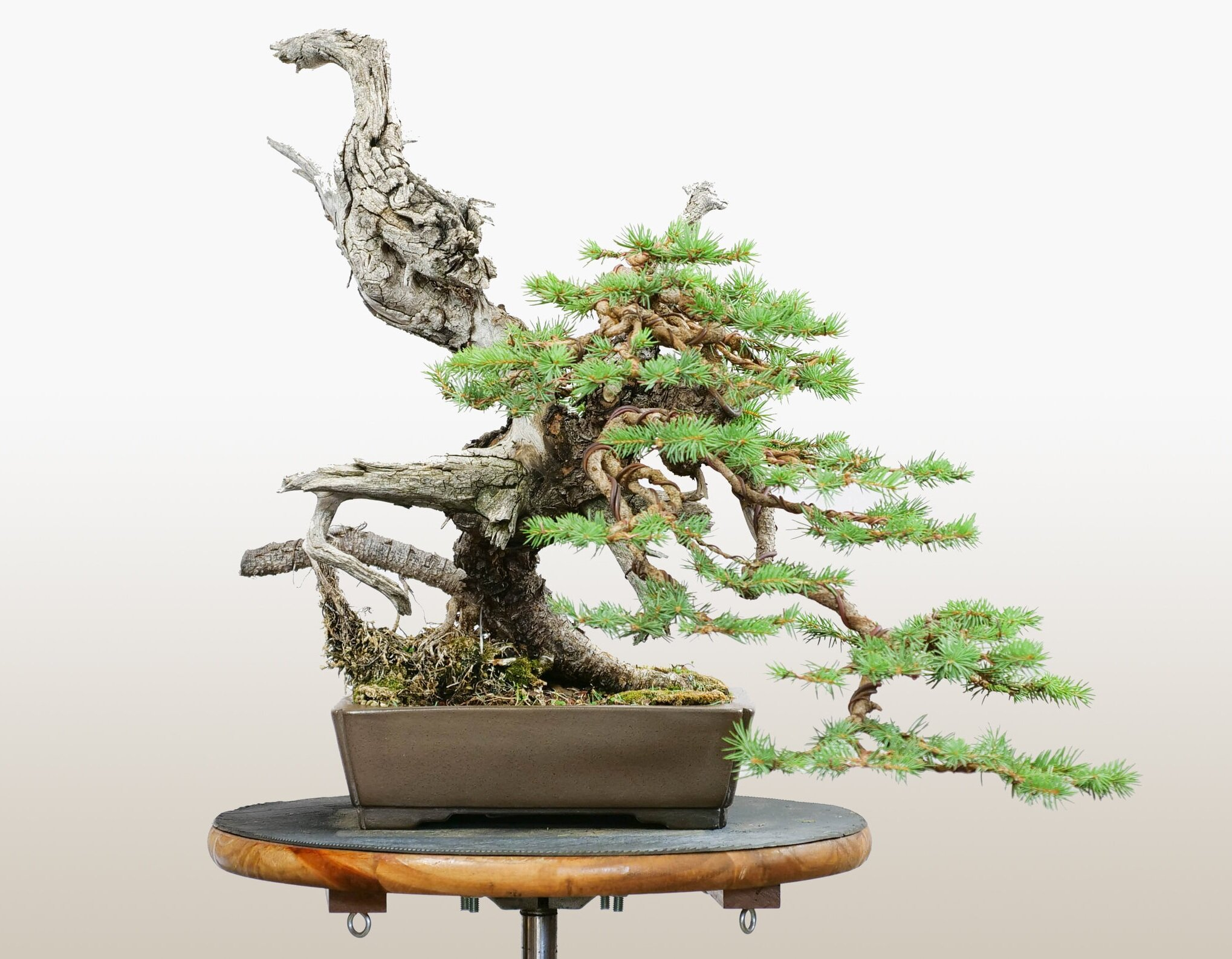 Sold First Branch Bonsai