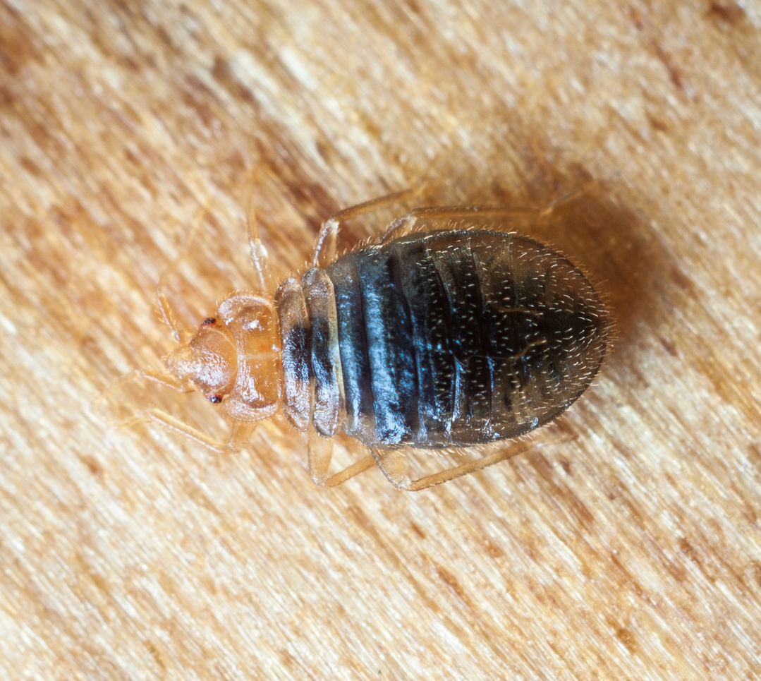 bed bug in home